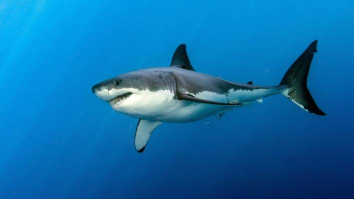 As apex predators, sharks are critical to marine ecosystems, without them the food chain collapses.