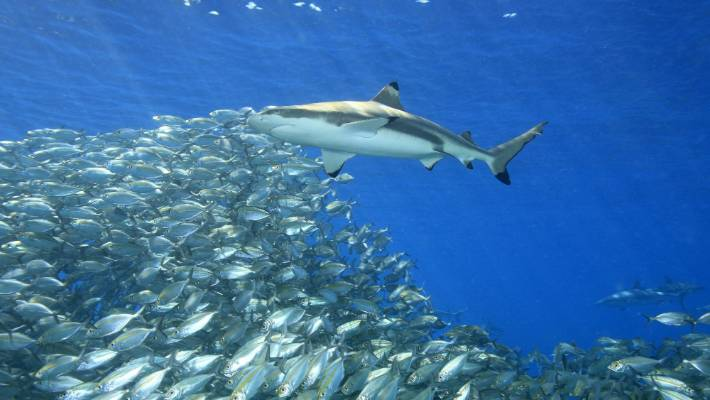 Sharks cannot sustain the massive fishing pressures they are under.