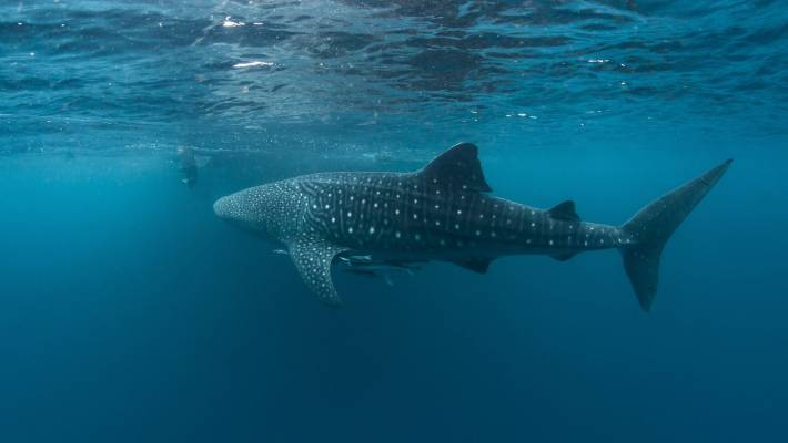 A whale shark swims in West Papua.