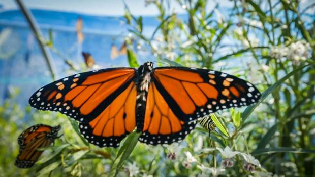 a90d6cf82570c National shortage of monarchs caused by wasps, butterfly farmer says |  Stuff.co.nz