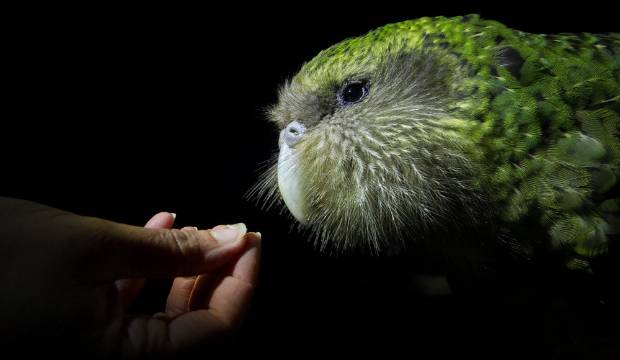 Sirocco the kākāpō became one of the most famous members of his species.