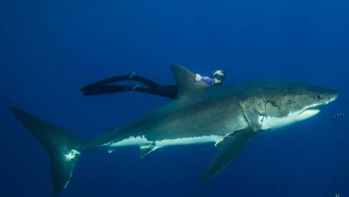 Shark diver encounters huge sharks in Hawaii