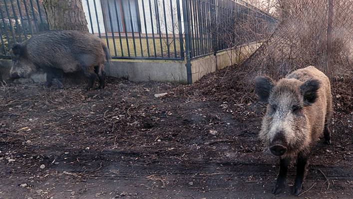 The boar wanders near houses on the outskirts of Warsaw. Authorities say boars need to be slaughtered to prevent the spread of African swine disease.