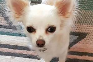 Bubbles, a 2-year-old Chihuahua, was thrown from a car on Friday and has been missing since.