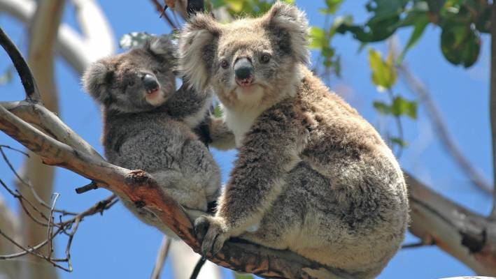 Koalas - rarely awake.