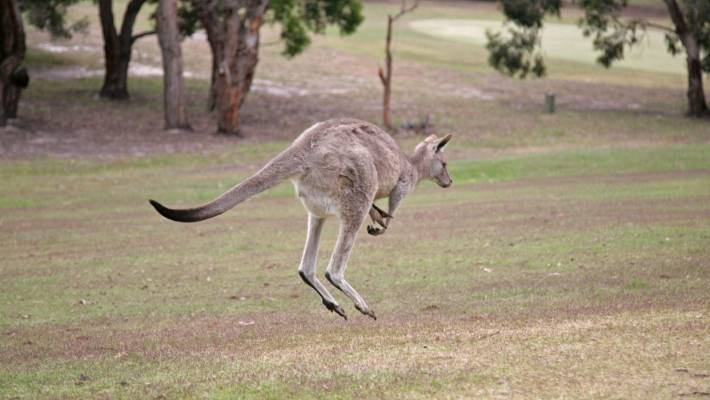 Kangaroos are a moving hazard at Anglesea Golf Course.