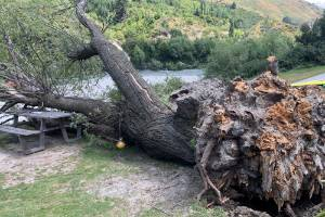 The tree that fell onto the five people at Shotover Jet.