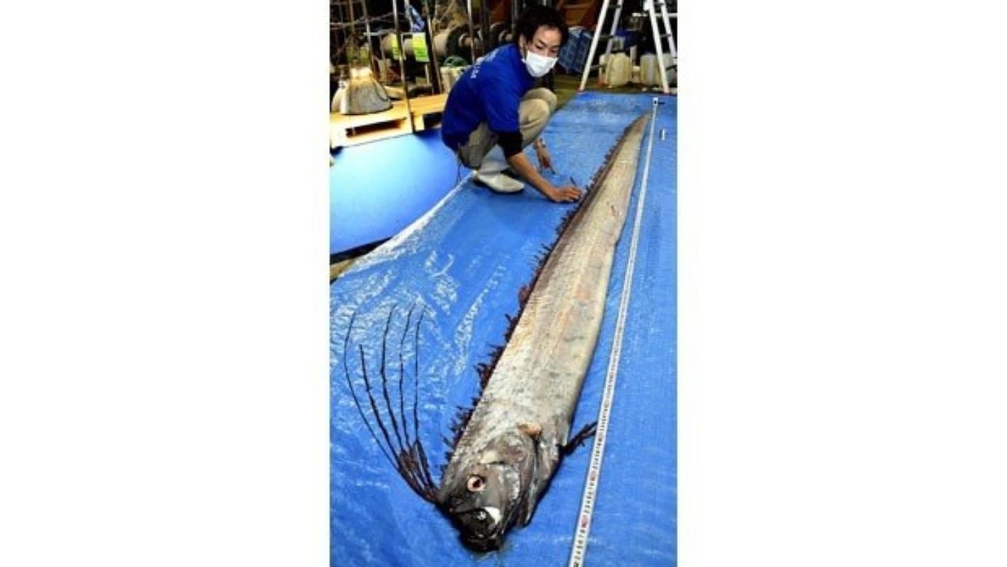 Unusual deep-sea fish sightings puzzle Japanese experts ...