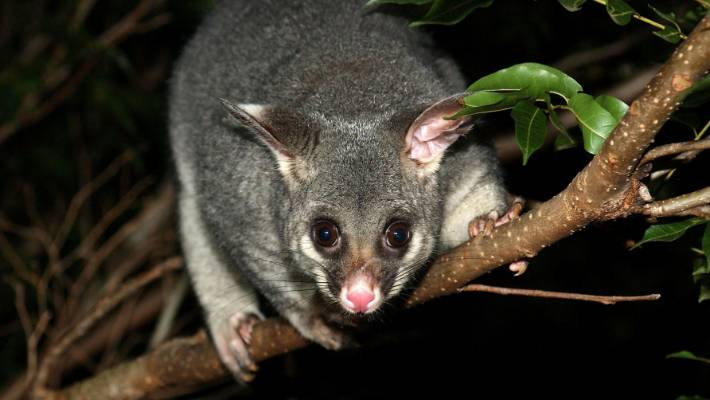 Dr Bruce Chard: Do possums pose a danger to kittens?   Stuff