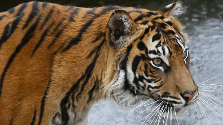 Who owns that 'delightful' tiger, Houston officials ask