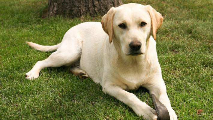 A Labrador retriever that attacked another dog will have to be muzzled in public, a court heard. (File photo).