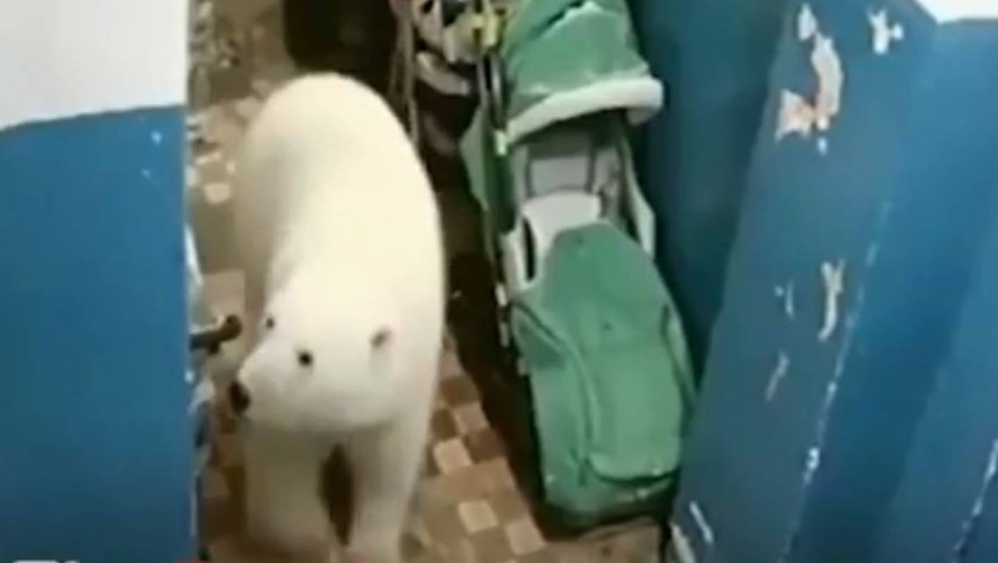 A 'mass invasion' of polar bears is terrorising a Russian island town