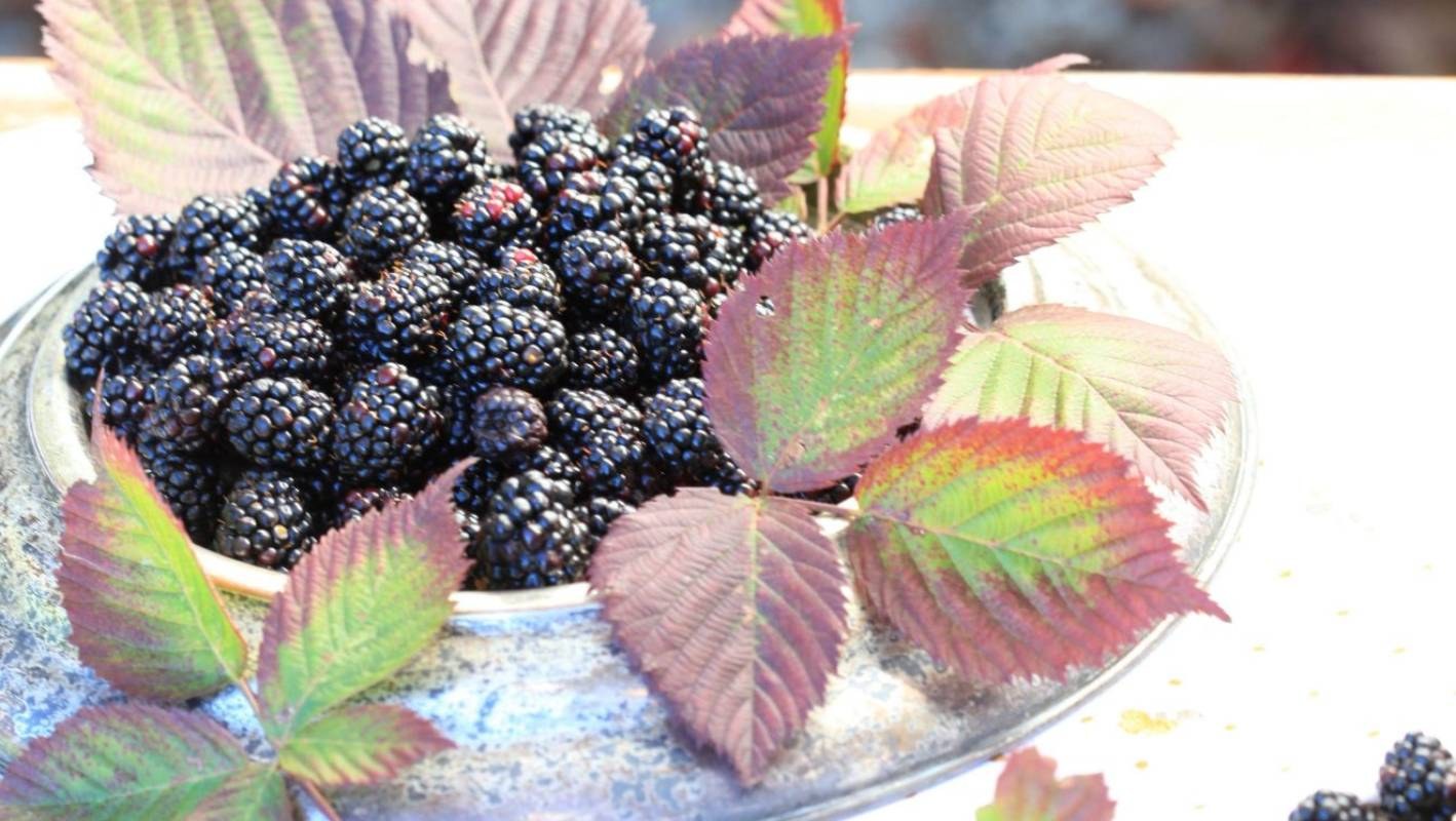 Growing blackberries: how to plant, care, propagate and harvest