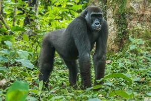Gorilla trekking in the Congo.
