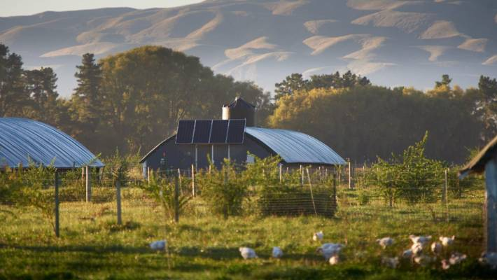 Bostock Brothers organic chickens are raised in chalets in an apple orchard, in Hawkes Bay.