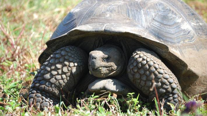 Giant tortoise feared extinct for over 100 years found on Galapagos Islands