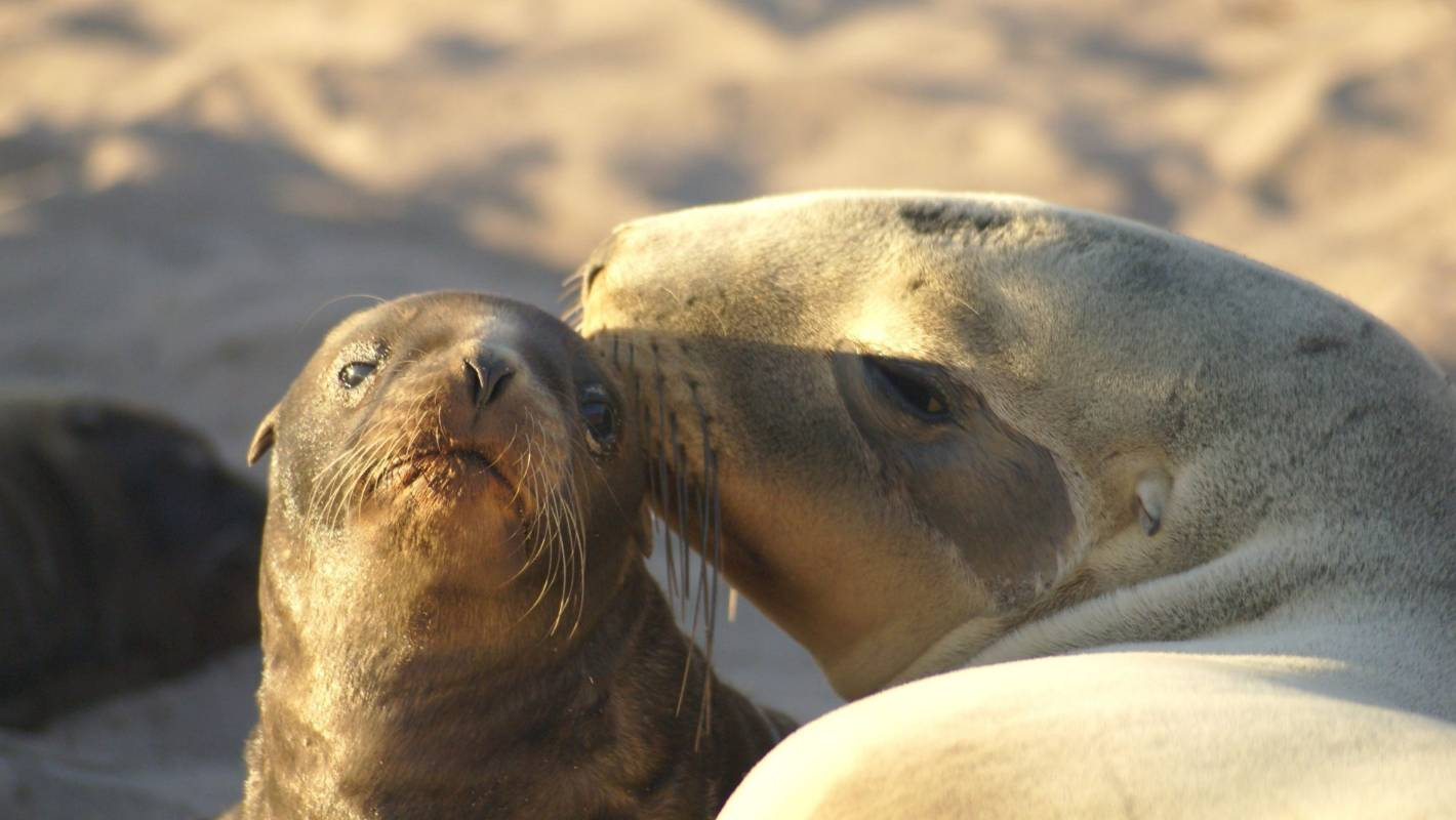 Trawling ban could help stop endangered sea lion deaths at Auckland Islands