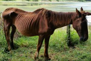 A chestnut gelding was found in such malnourished condition that it had to be put down.