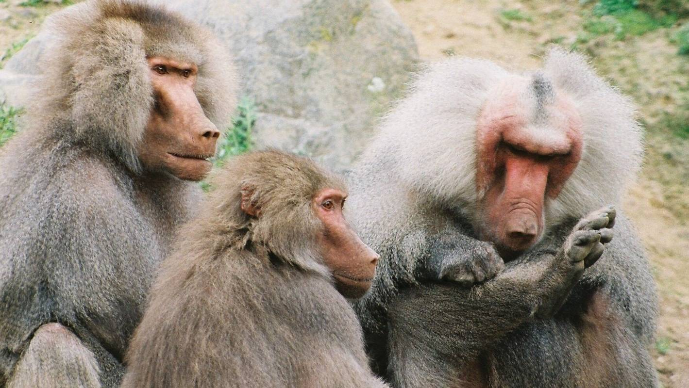 Wellington Zoo euthanises four male baboons