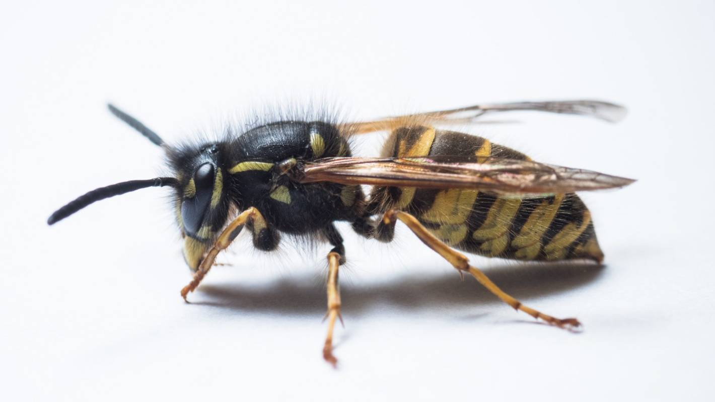 'Aggressive' wasp numbers skyrocket, threatening millions in damage