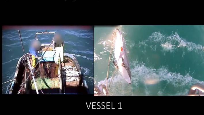 Screenshots from Ministry for Primary Industries cameras of a hector's dolphin caught in a commercial fishing net.