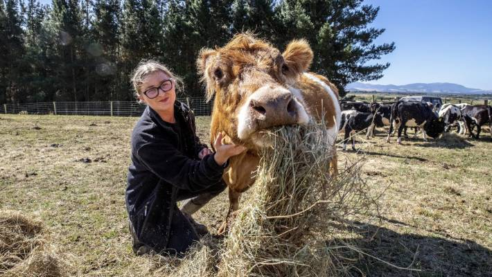 The cow sanctuary in North Canterbury proved a logistical nightmare when 300 cows were taken in at once.