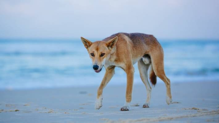 Father saves toddler being dragged away by dingoes