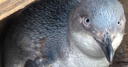 A little (blue) penguin in a nesting box at the Kaikōura colony. (File photo)