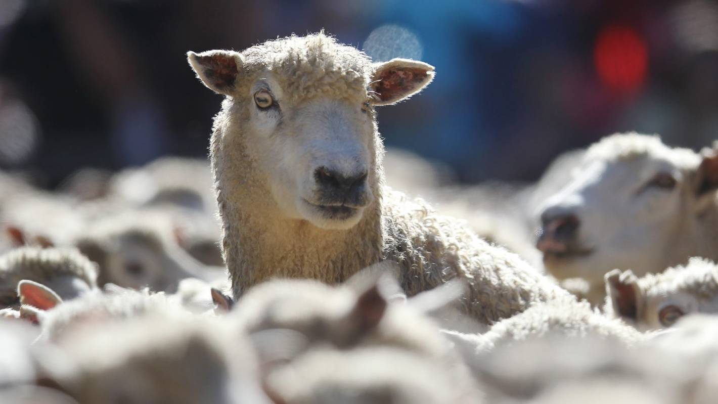 Bacteria key to reducing greenhouse gas emissions from sheep