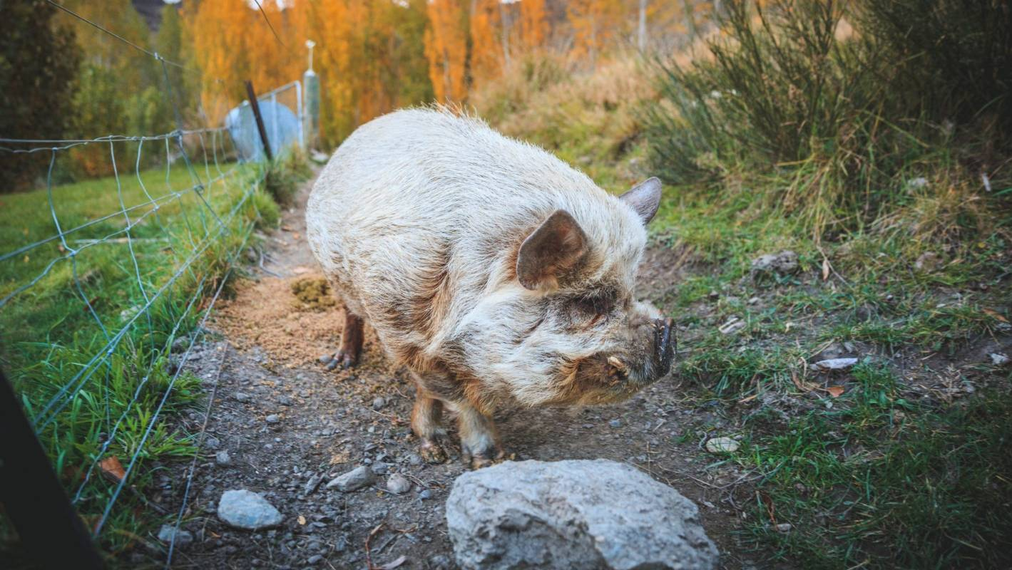 Angelica the pig is the unofficial, official mascot of Two Paddocks.