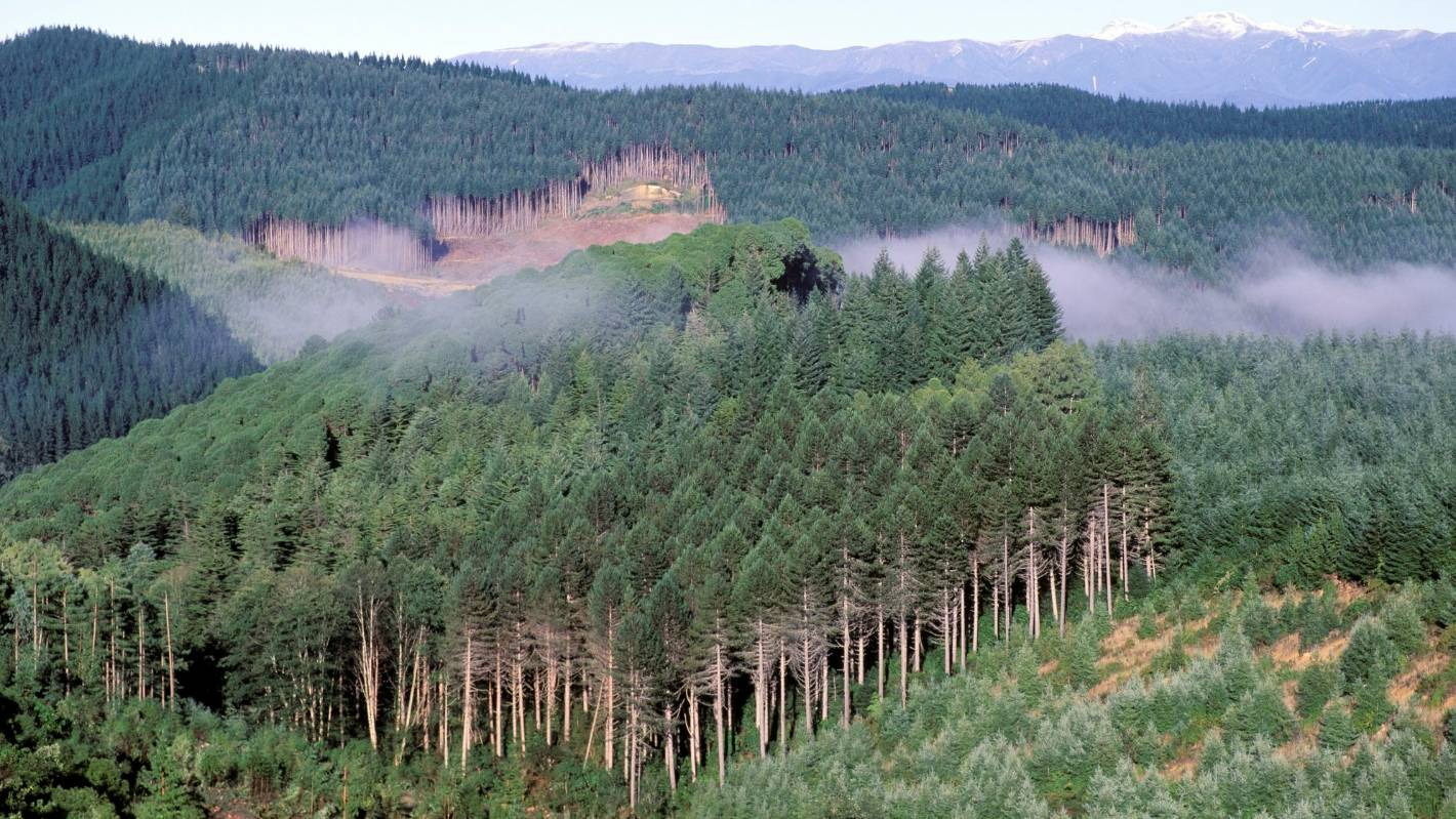 Carbon dioxide-capturing pine forests could be nurseries for native stands