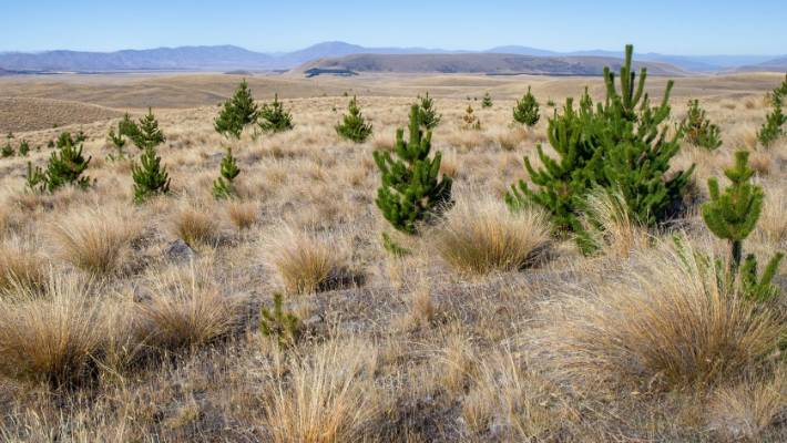 Controlling the spread of wilding pines has become a major part of the New Zealand Defence Force's work at the Tekapo Military Camp.