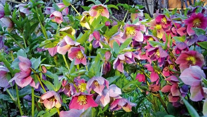 Hellebores in the morning sun.