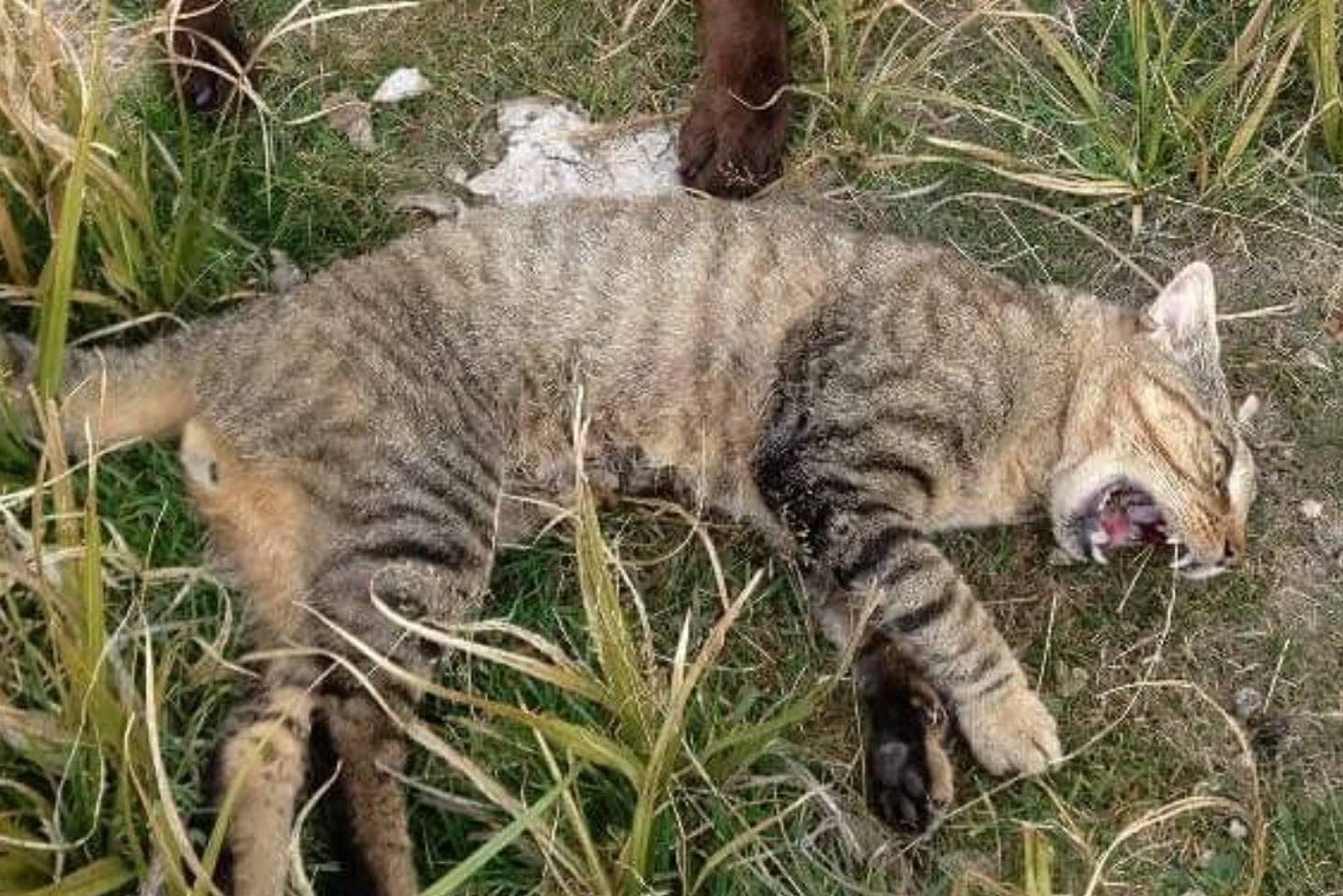 Big cat sighting at Burkes Pass revives mystery | Stuff co nz