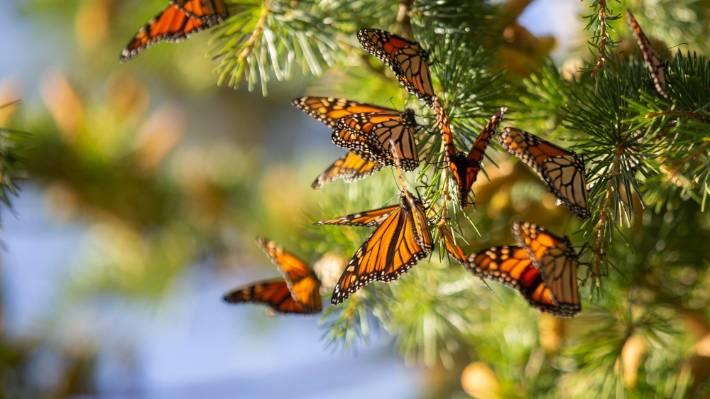 Aigantighe Art Gallery aflutter with monarch butterflies