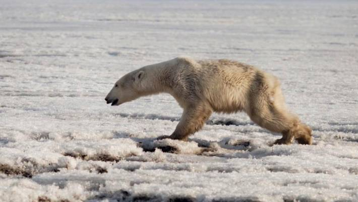 Exhausted polar bear travels far from home in Russia on ice floe