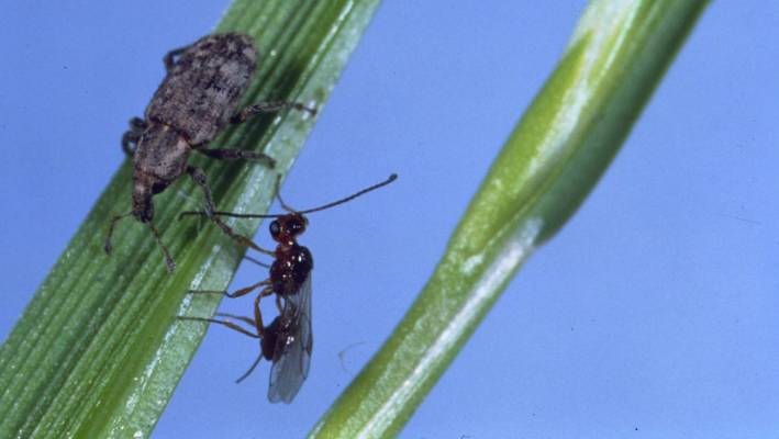 The parasitic wasp sizing up an Argentine stem weevil has lost some of its biocontrol powers.