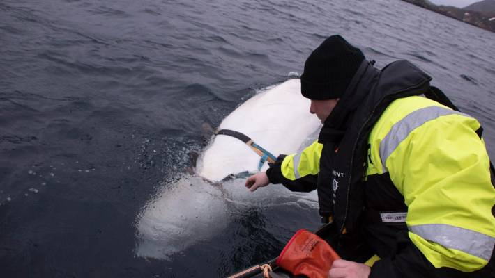Russian-trained spy whale spooks Norwegian fishermen