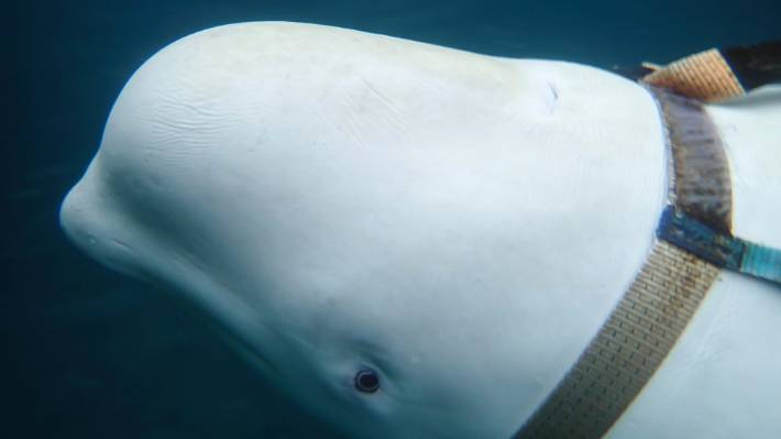 Beluga whale with Russian harness raise alarm in Norway