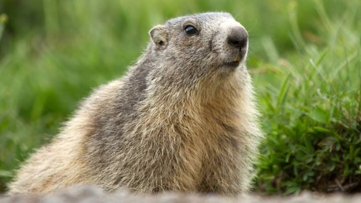 Health authorities say marmots carry the bubonic plague germ. But many believe eating marmots is a folk remedy for good health.