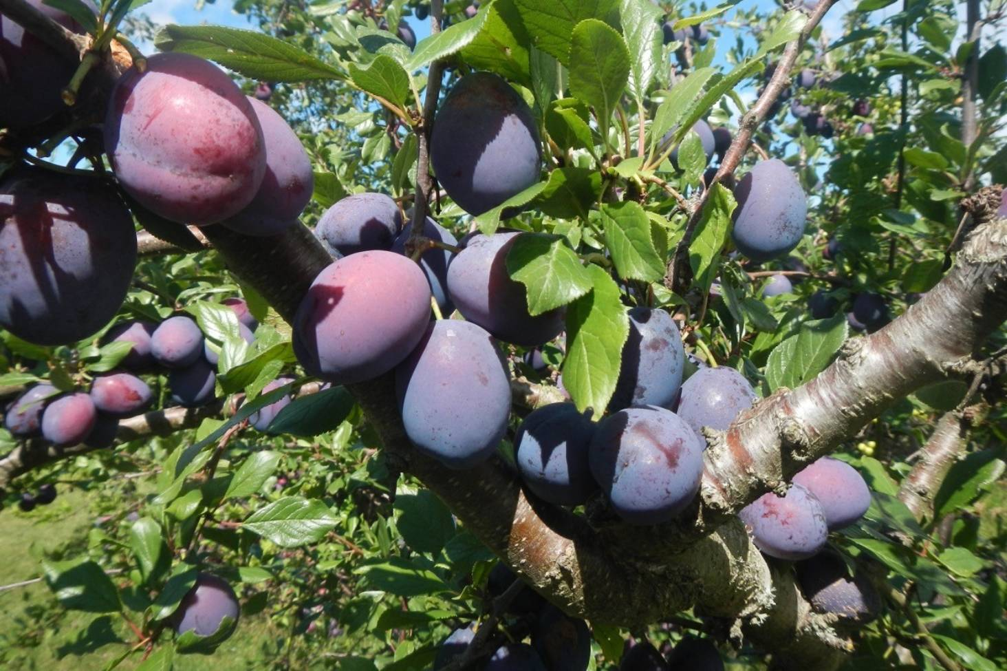 Yes You Can Grow Your Own Prunes Stuff Co Nz