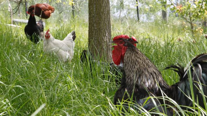 Chickens on a biodynamic farm, a closed loop agricultural system that treats the farm as an ecosystem.