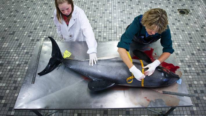 Massey vet clinic pathologist Wendi Roe does a post mortem on an adult female Hector dolphin, found on a beach in Hokitika. Her daughter Kristi, 11 helps out.