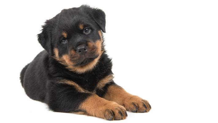 Woman fined $500 for docking Rottweiler puppies with bands | Stuff co nz