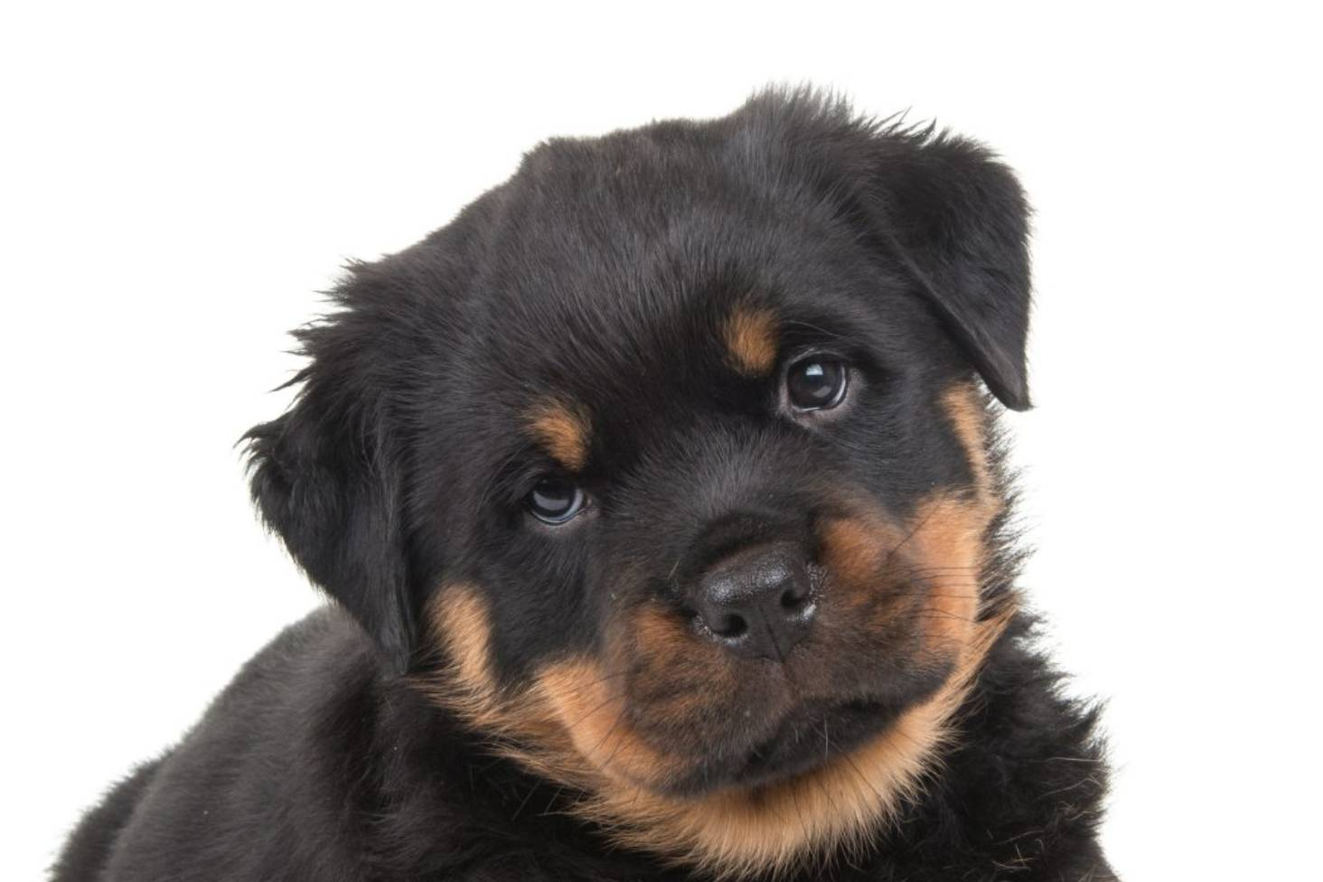 Woman fined $500 for docking Rottweiler puppies with bands   Stuff co nz