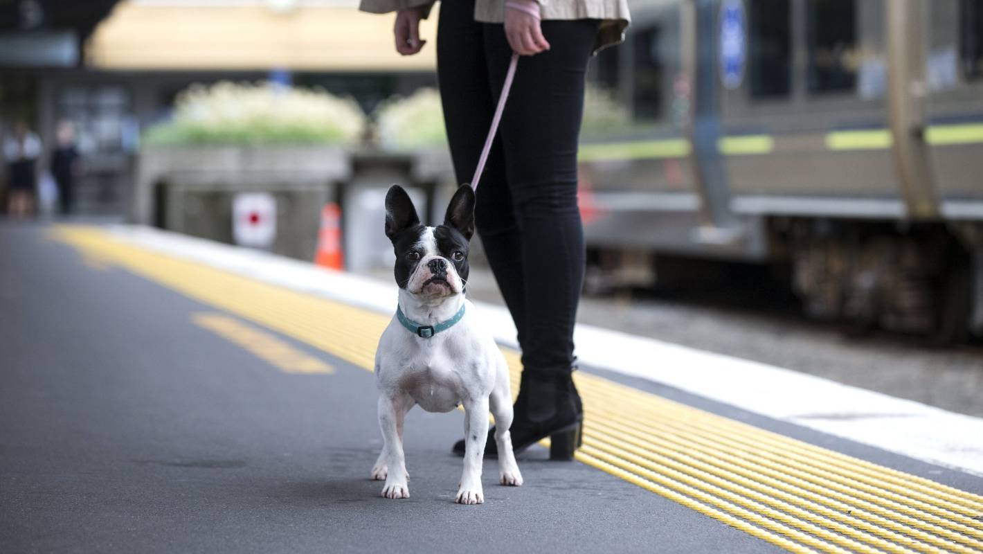 Pets to ride on Auckland trains with their owners from as early as June