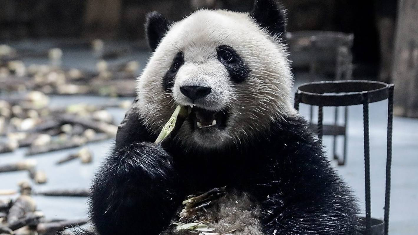 China has a new facial recognition app - this time for pandas