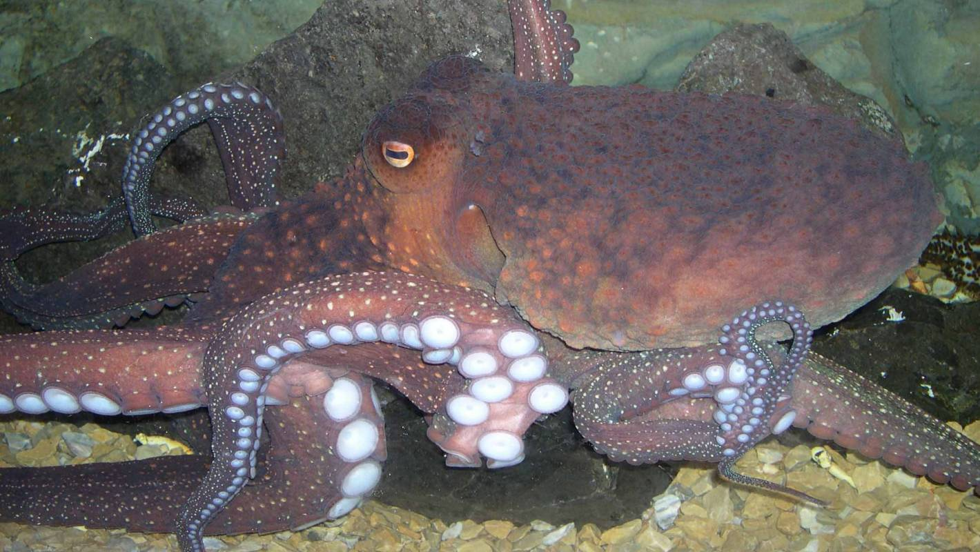 Octopus farming unsustainable, unethical, unnecessary