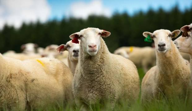 Spring Sheep to launch milk powder in supermarkets