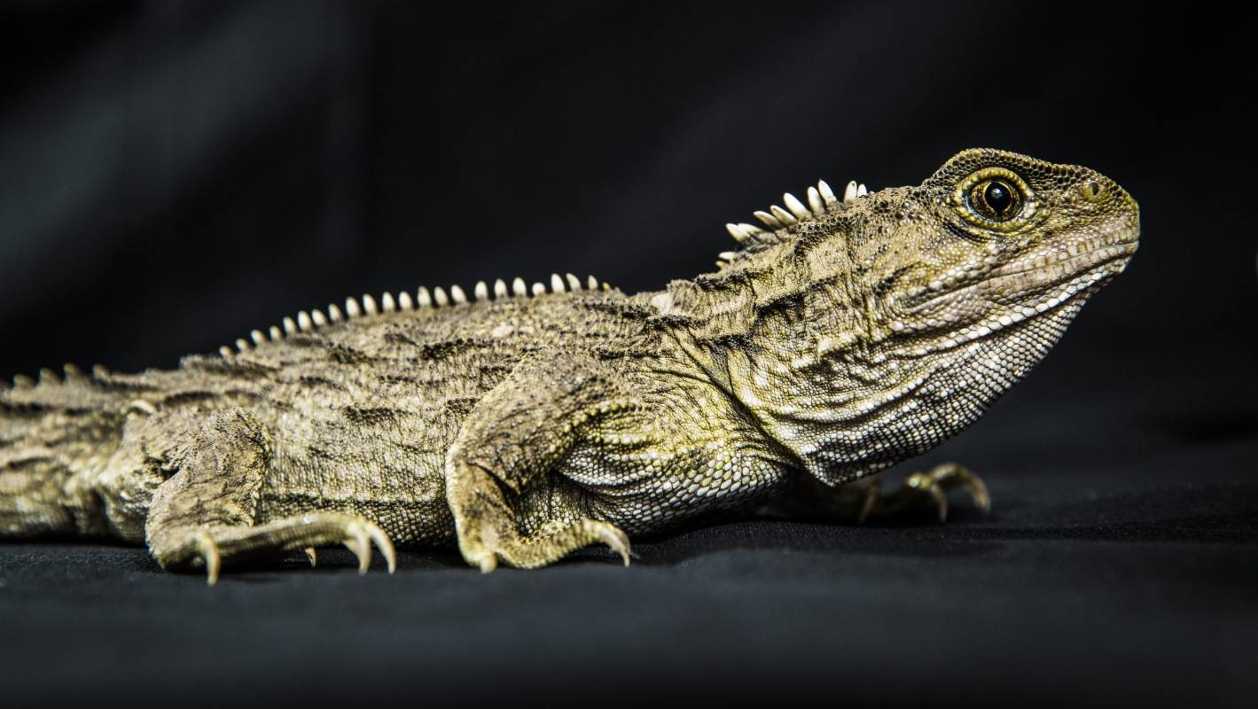 Endangered tuatara have died at Nelson Natureland zoo from secondary poisoning as a result of rat control carried out at the zoo.